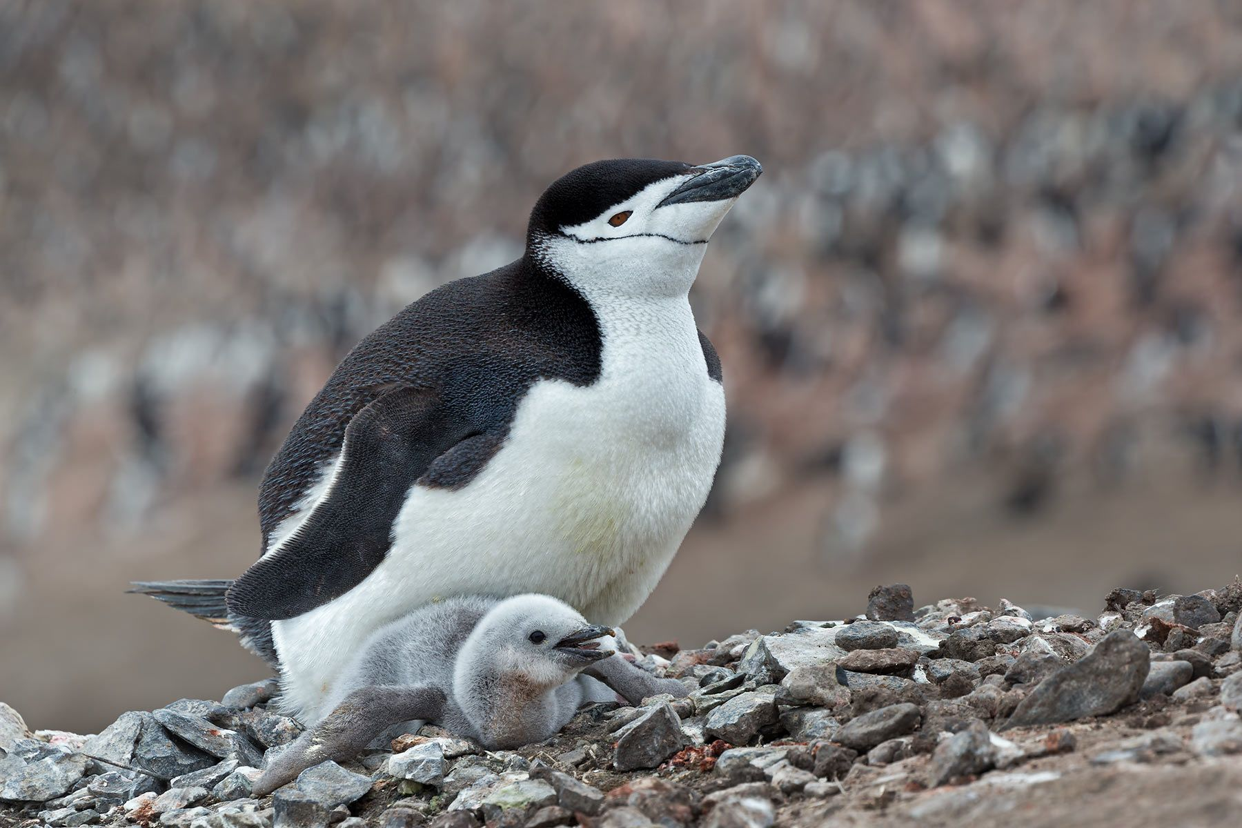Chinstrap-Penguin-with-chick-on-the-nest-with-colony-bkgd_E7T4031-Bailey-Head,-Deception-Island,-Antarctica.jpg