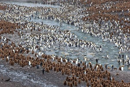 King-Penguins-Okan-Boys-along-the-river_B8R1289-St.jpg