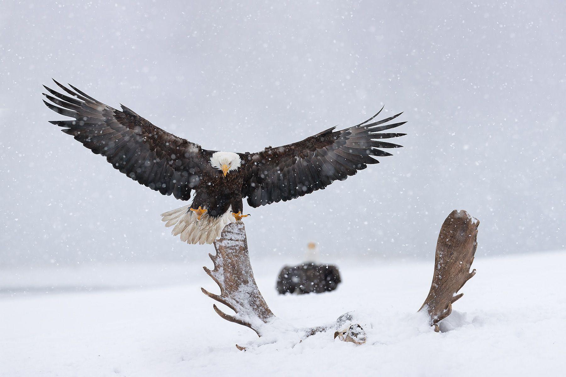 Bald-eagle-landing-on-moose-antler-composite-II_74I3390-Kachemak-Bay,-Alaska,-USA.jpg