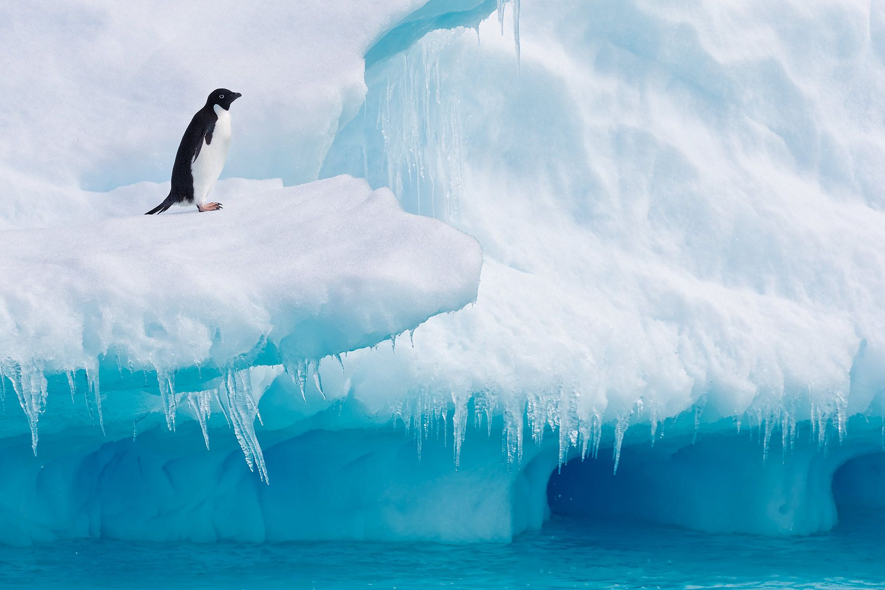 Adelie-Penguin-on-iceberg-ledge-with-blue-ice-and-water_E7T1711-Detaille-lsland,-Antarctica.jpg