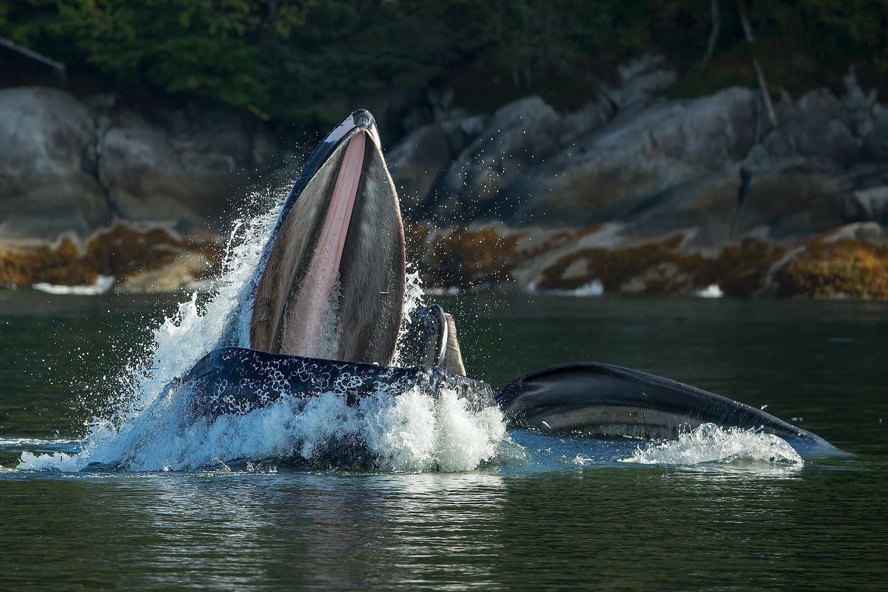 Humpback-whale-feeding-for-fish_E7T6211-Gribbell-Island,-British-Columbia,-Canada.jpg