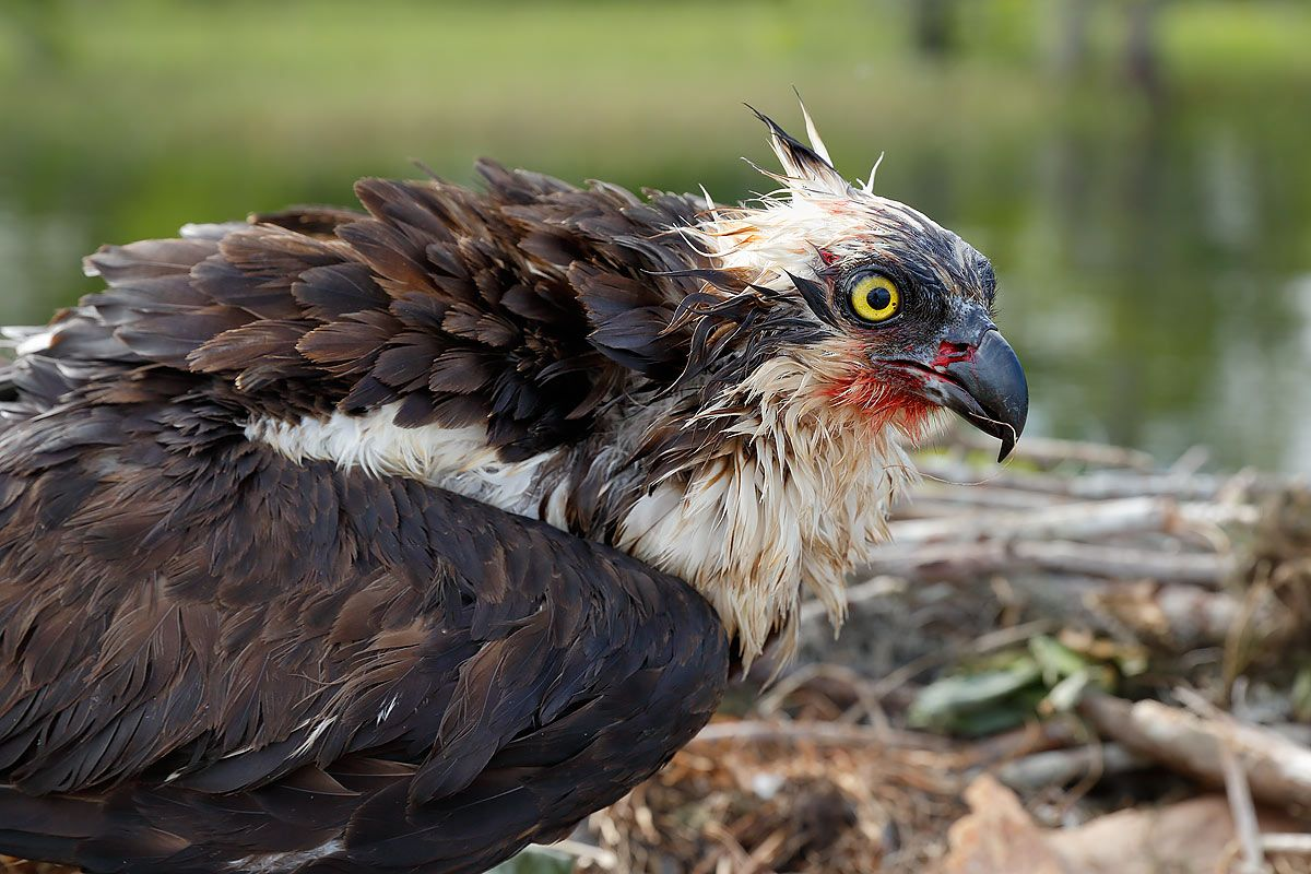 osprey-wounded-head-portrait_s6a7047-lake-blue-cypress-fl-usa.jpg