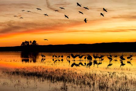 Sunset-at-the-crane-pool-with-landing-Sandhill-cranes_E7T4119-Bosque-del-Apache-NWR,-San-Antonio,-NM,-USA.JPG