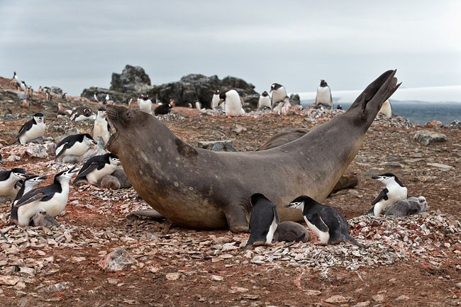 Elephant-Seal-moving-through-the-Chinstrap-penguin-nests_E7T6639-Hannah-Point-South-Shetland-Islands-Antarctica.jpg