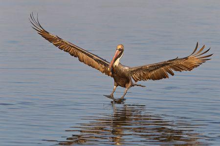 Brown-Pelican-landing-on-flat-water-E07G5504-Estero-Lagoon-Fort-Myers-Beach-FL.jpg
