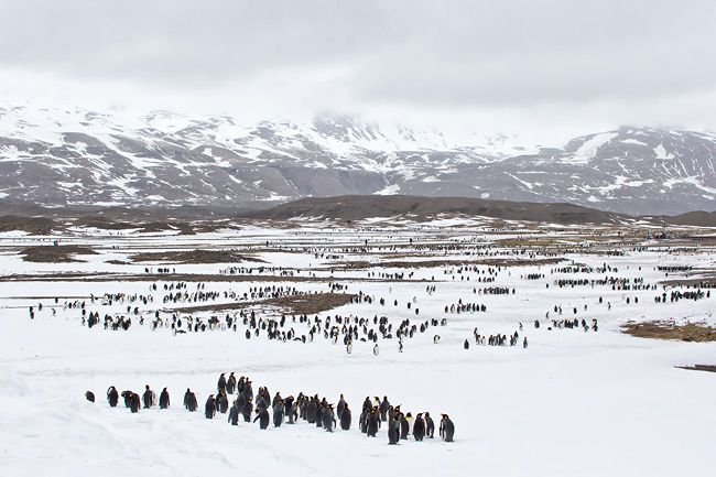King-Penguin-colony-spread-out_E7T3954-Fortuna-Bay-South-Georgia-Islands.jpg