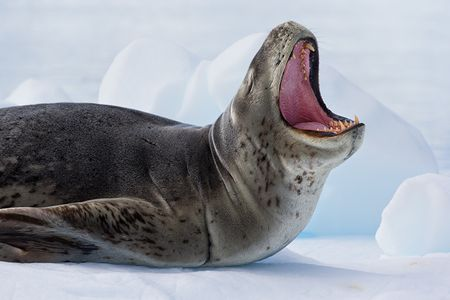 Leopard-Seal-pointing-up-with-open-mouth_E7T0549-Cierva-Cove-Antarctica.jpg