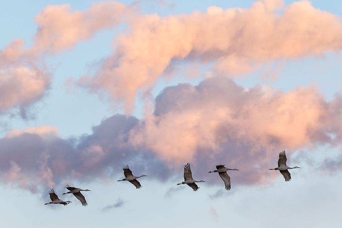 sandhill-cranes-flying-by-orange-clouds-1_44a1728-bosque-del-apache-nwr-san-antonio-nm-usa.jpg