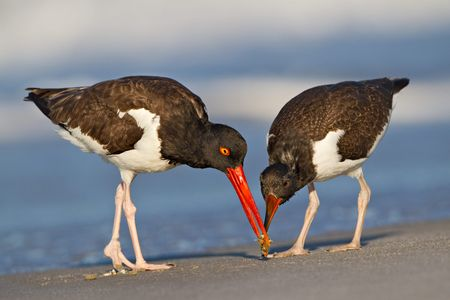 Oyster-Catcher-and-chick-sharing-little-crab_M7E9862-Nickerson-Beach,-NY.JPG