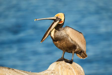 Brown-pelican-with-open-beak-on-cliff_E7T0598-La-Jolla-cliffs-La-Jolla-USA.jpg