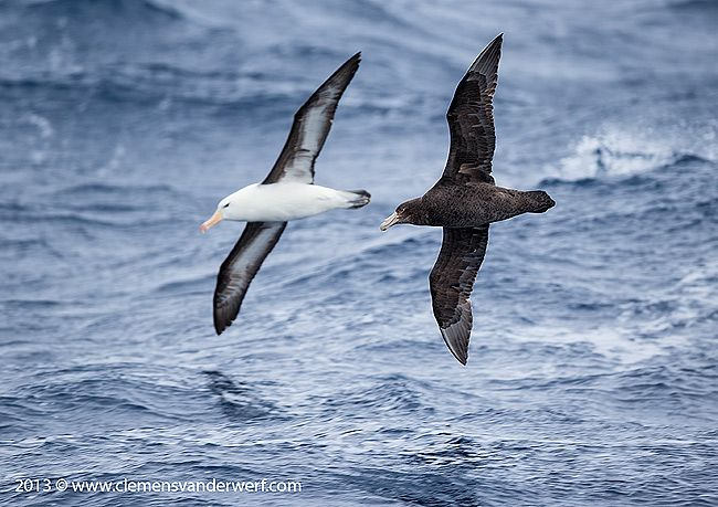 Southern-Giant-Petrel-and-Black-browed-Albatross-in-the-waves_E7T5226-Drake-Passage-Southern-Ocean-Antarctica.jpg