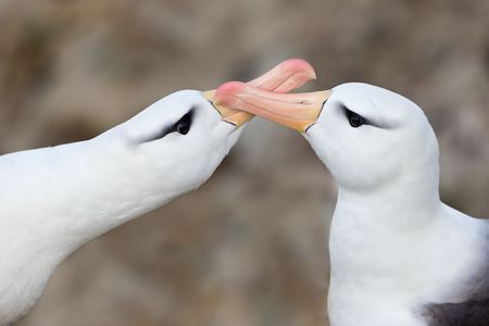 Black-bowed-Albatrosses-clapping-bills_B8R7269-New-Island,-Falkland-Islands.JPG