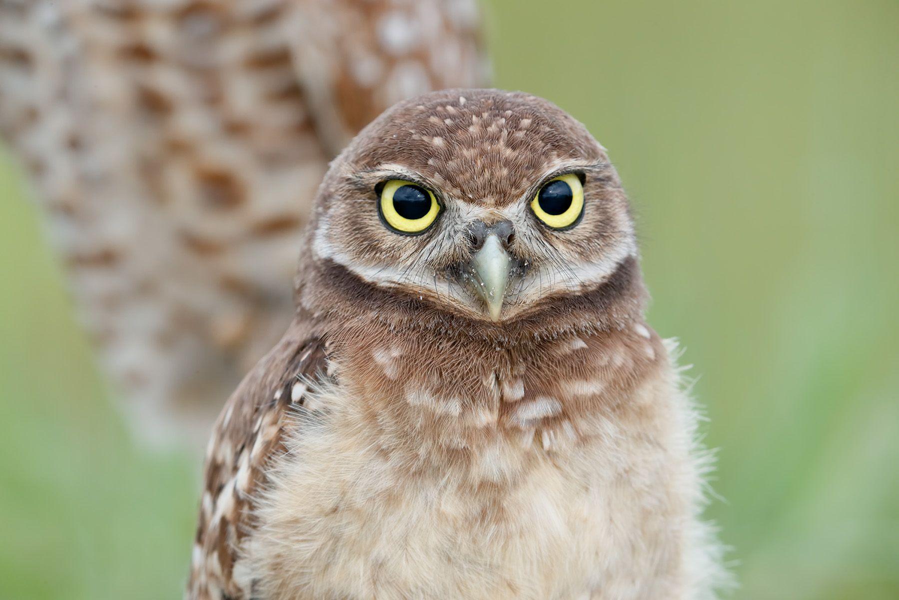 Burrowing owl chick_A3I9323- Boca Raton Airport, FL, USA.jpg