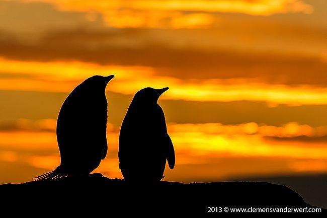 Gentoo-penguin-silhouette_E7T7212-Petermann-Island-Antarctica.jpg