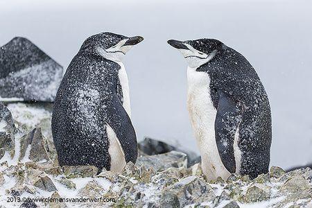 Chinstrap-penguin-pair-on-a-nest_E7T5612-Half-Moon-Island-South-Shetland-Islands-Antarctica.jpg