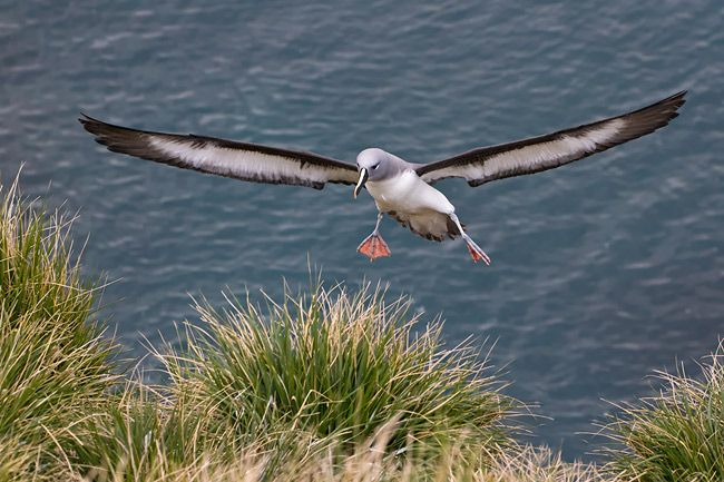 Grey-headed-Albatross-landing-in-tussac-grass_E7T2337-Elsehul-South-Georgia-Islands.jpg