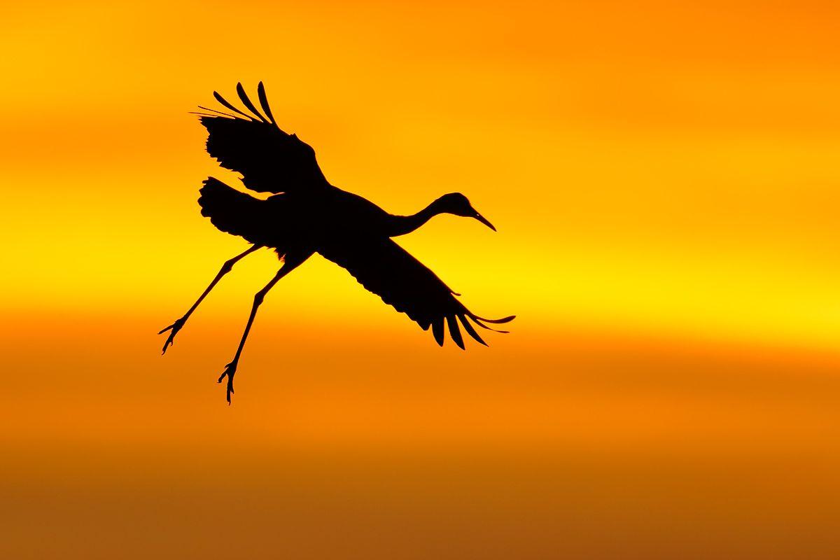 sandhill-crane-silhouette-1_44a6006-bosque-del-apache-nwr-san-antonio-nm-usa.jpg