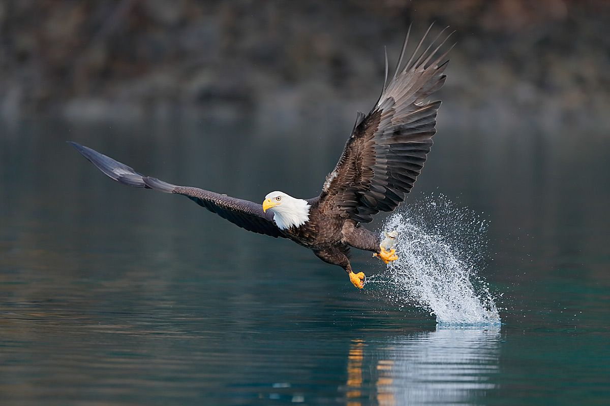 bald-eagle-with-catch-in-green-water_e7t9016-kachemak-bay-homer-alaska-usa.jpg