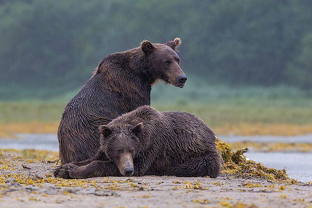Coastal-brown-bears-resting-on-tidal-flats_B8R3596-Geographic-Harbour-Katmai-NP-Alaska.jpg