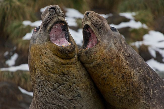 Elephant-Seal-Bulls-fighting-with-each-other_B8R4376-Gold-Harbour-South-Georgia-Islands.jpg