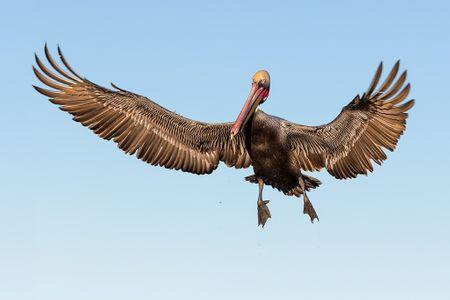 Broen-pelican-landing-with-wings-spread_E7T0009-La-Jolla-Cliffs-La-Jolla-USA.jpg