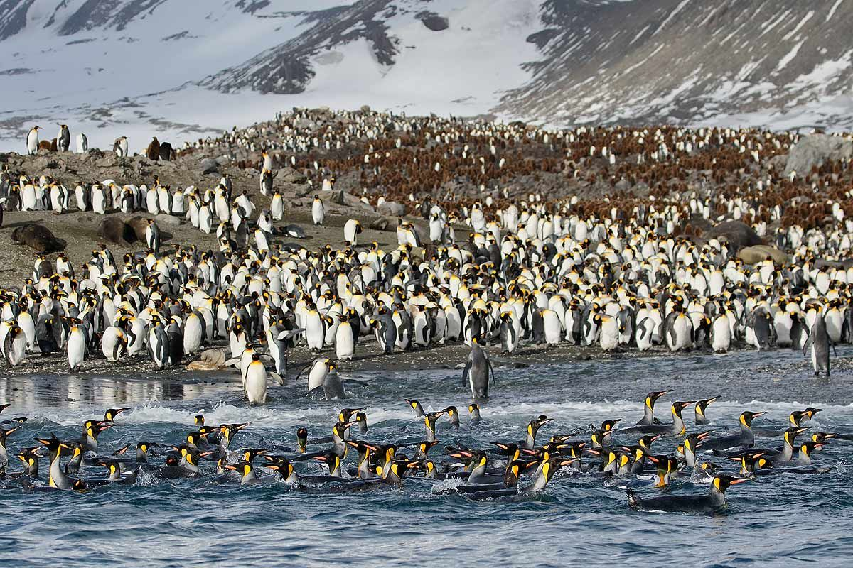 king-penguins-swimming-in-front-of-beach_44a7175-st-andrews-bay-entrance-south-georgia-islands-southern-ocean.jpg
