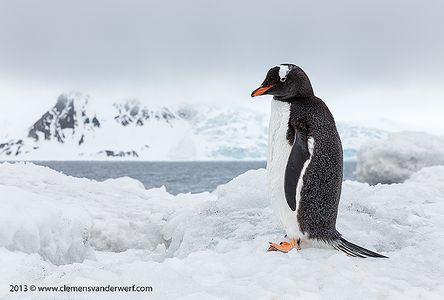 Gentoo-Penguin-overlooking-the-bay_S6A4305-Arctowski-Base-King-George-Island-South-Shetland-Islands-Antarctica.jpg