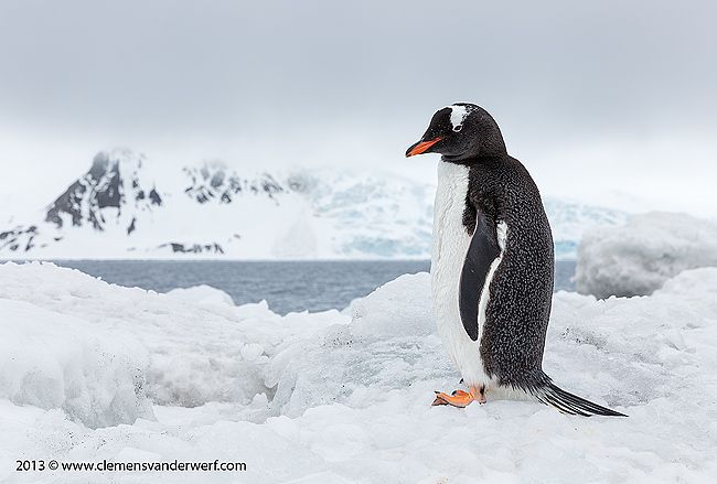 Gentoo-Penguin-overlooking-the-bay_S6A4305-Arctowski-Base-King-George-Island-South-Shetland-Islands-Antarctica.jpg