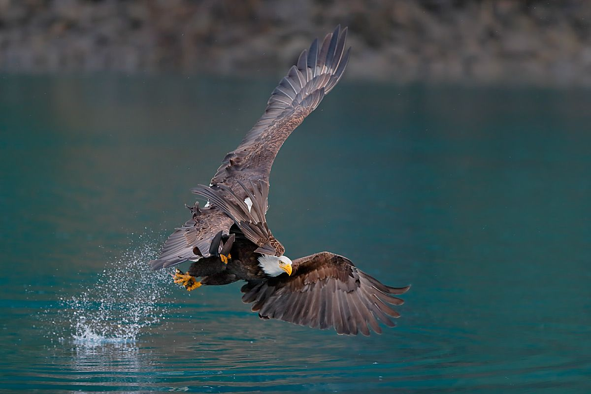 bald-eagles-tangled-up_e7t8842-kachemak-bay-homer-alaska-usa.jpg