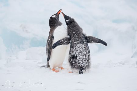 gentoo-penguin-chick-begging_a3i7295-brown-bluff-antarctica.jpg
