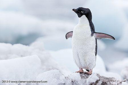 Adelie-penguin-stretching-his-wings_E7T5495-Arctowski-Base-King-George-Island-South-Shetland-Islands-Antarctica.jpg