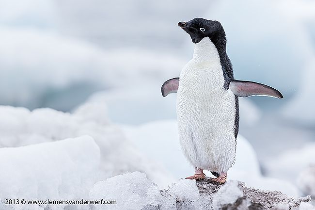 Adelie-penguin-stretching-his-wings_E7T5495-Arctowski-Base-King-George-Island-South-Shetland-Islands-Antarctica.jpg