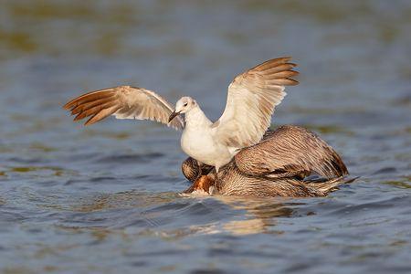 brown-pelican-feeding-with-gull_b8r9122-alafia-banks-gibsonton-fl-usa.jpg