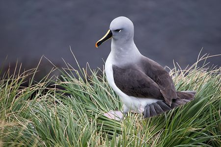 Greyheaded-Albatross-on-mountain-cliff_E7T2316-Elsehul-South-Georgia-Islands.jpg