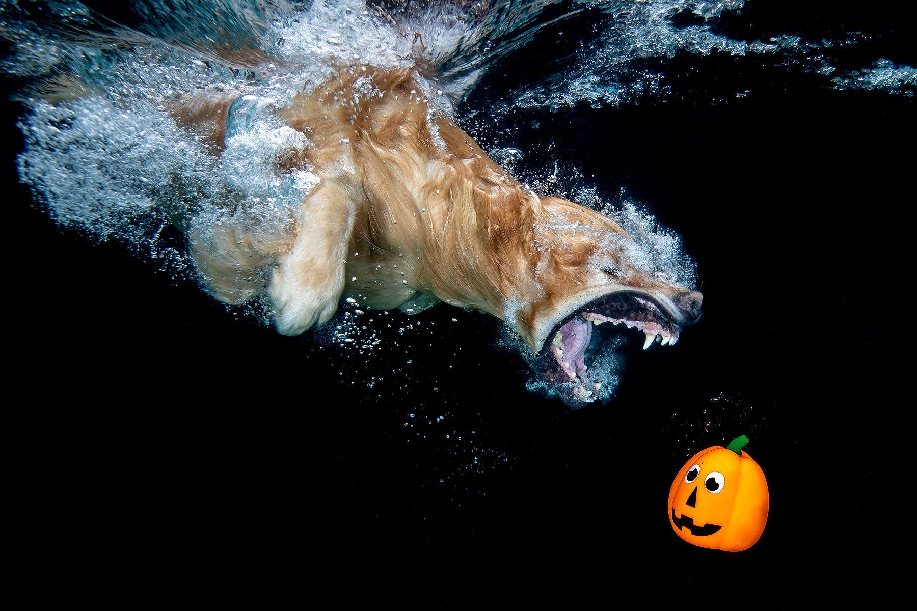 Ozzy-diving-after-orange-pumpkin_83A8586-Dover,-FL,-USA.jpg
