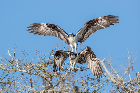 Ospreys balancing act courting II_A3I1437-Lake Blue Cypress, FL, USA.jpg