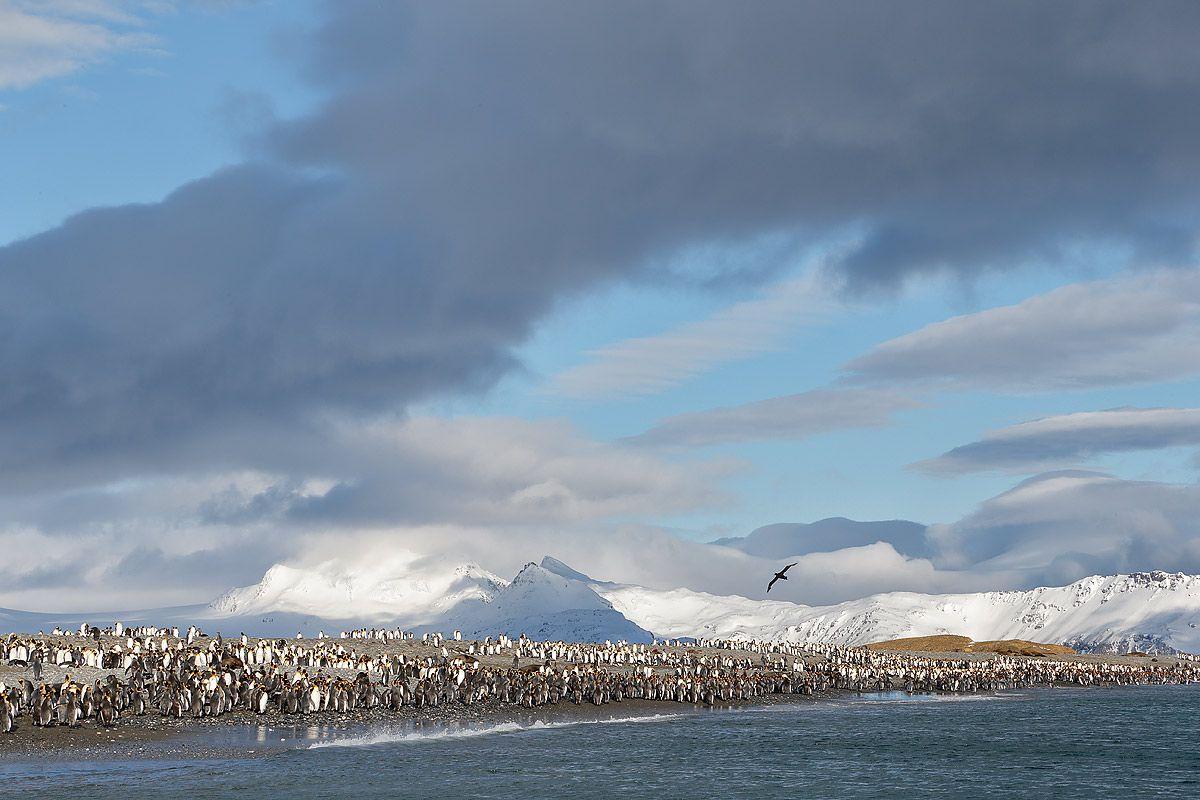 king-penguins-at-the-beach_e7t3242-salisbury-plain-bay-of-isles-south-georgia-islands-southern-ocean.jpg