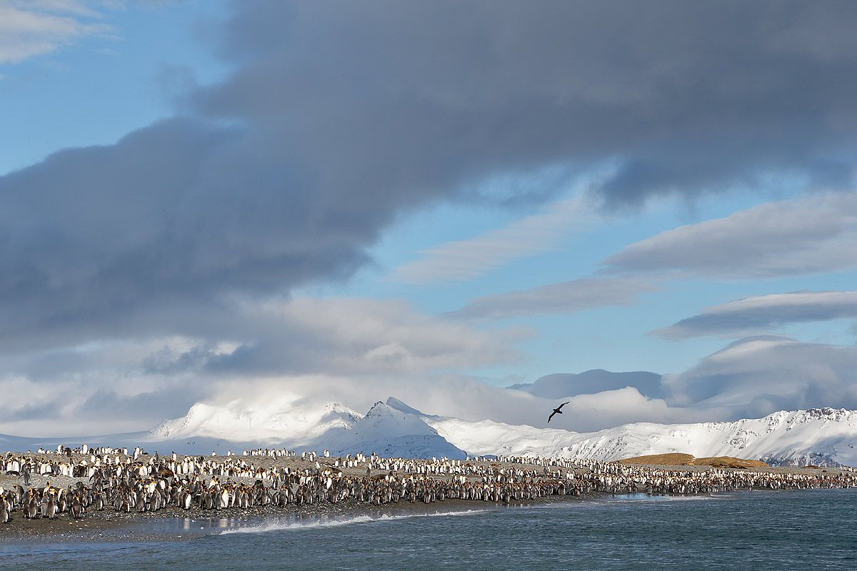 king-penguins-at-the-beach_e7t3242-salisbury-plain-bay-of-isles-south-georgia-islands-southern-ocean.jpg