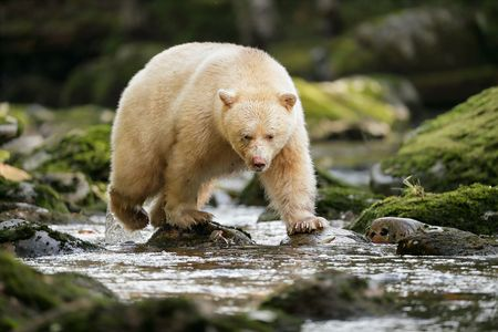 Spirit-bear-walking-in-the-river_A3I2848-Gribbell-Island,-British-Columbia,-Canada,.JPG