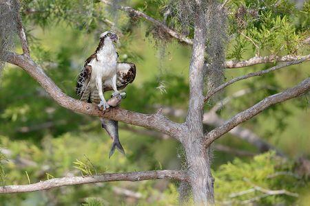 osprey-with-fish-on-branch_e7t1596-lake-blue-cypress-fl-usa.jpg