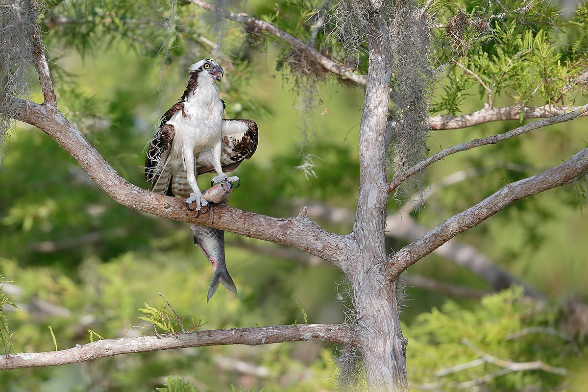 osprey-with-fish-on-branch_e7t1596-lake-blue-cypress-fl-usa.jpg