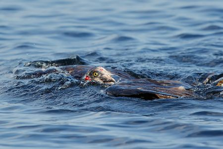 osprey-with-blood-swimming-iii_44a1299-lake-blue-cypress-fl-usa.jpg