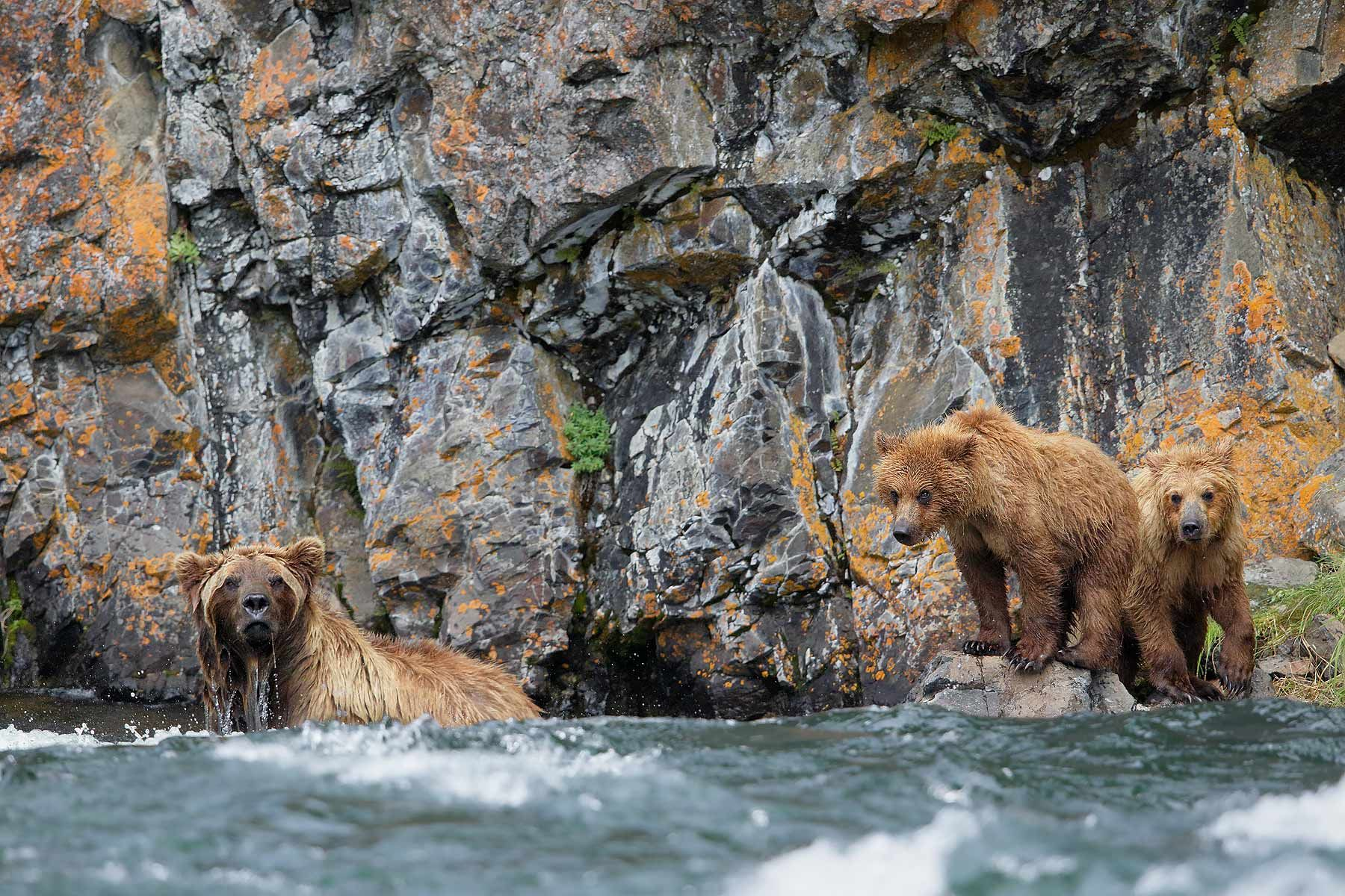 Coastal-brown-bear-and-cubs-fishing_44A3542-Alagnak-River,-Katmai-National-Park-&-Preserve,-AK,-USA.jpg