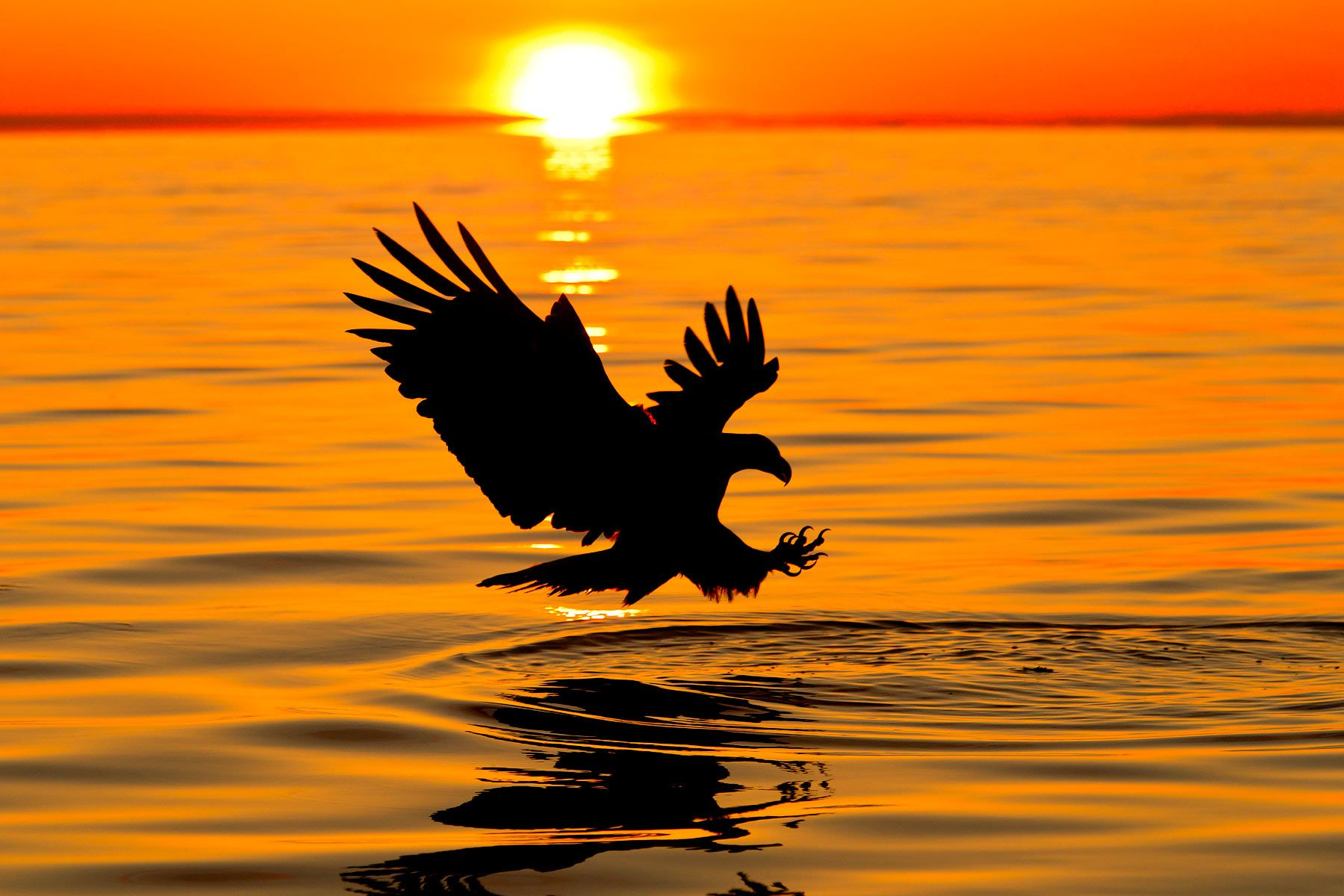 Bald-eagle-catching-fish-at-sun-set-E07G1025-Kachemak-Bay,-Homer,-AK.jpg