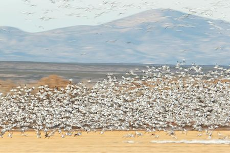 snow-geese-blur-over-the-cornfields-1_e7t4287-bosque-del-apache-nwr-san-antonio-nm-usa.jpg