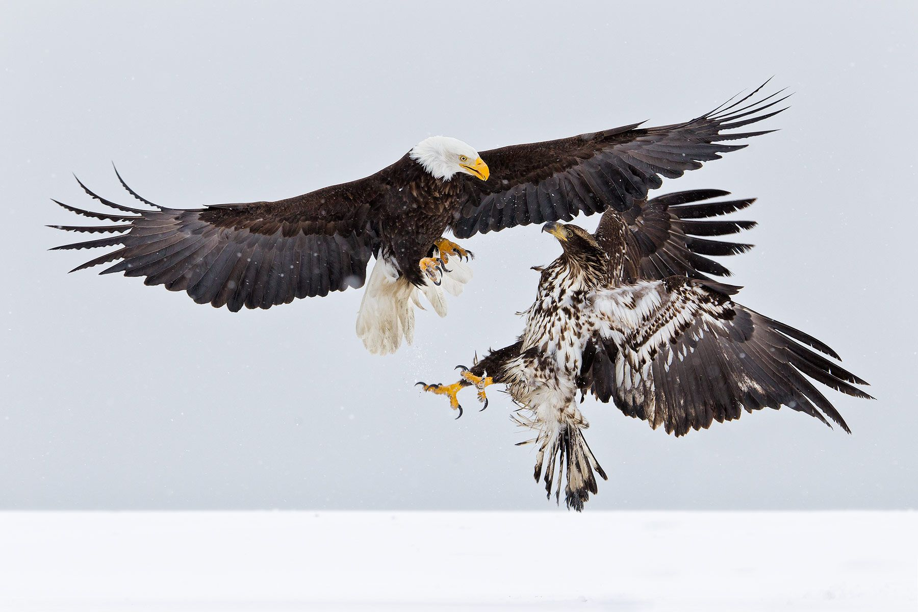 Bald-eagle-and-Juvenile-eagle-fighting-in-the-air-E07G9046-Kachemak-Bay,-Homer,-AK.jpg