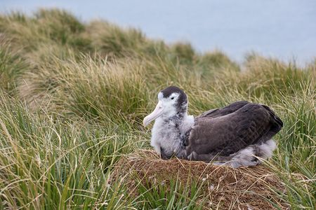Wandering-Albatross-chick-on-nest_E7T3288-Prion-Island-South-Georgia-Islands.jpg