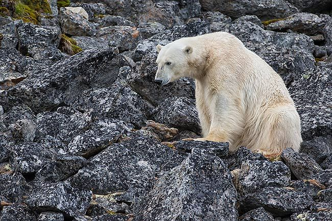 Polar-bear-on-the-rocks-looking-out_E7T3187-Hamiltonbuka-Svalbard-Arctic.jpg