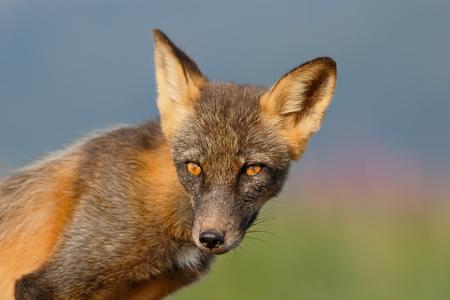Red fox with fireweed background_44A2293-Hallo Bay, Katmai National Park & Preserve, AK, USA.jpg