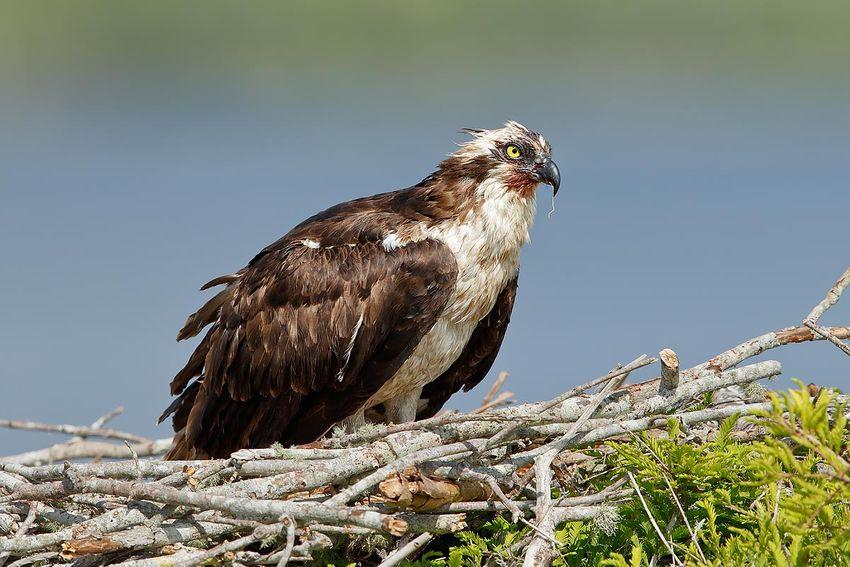 osprey-with-wounds-on-nest_44a1424-lake-blue-cypress-fl-usa.jpg